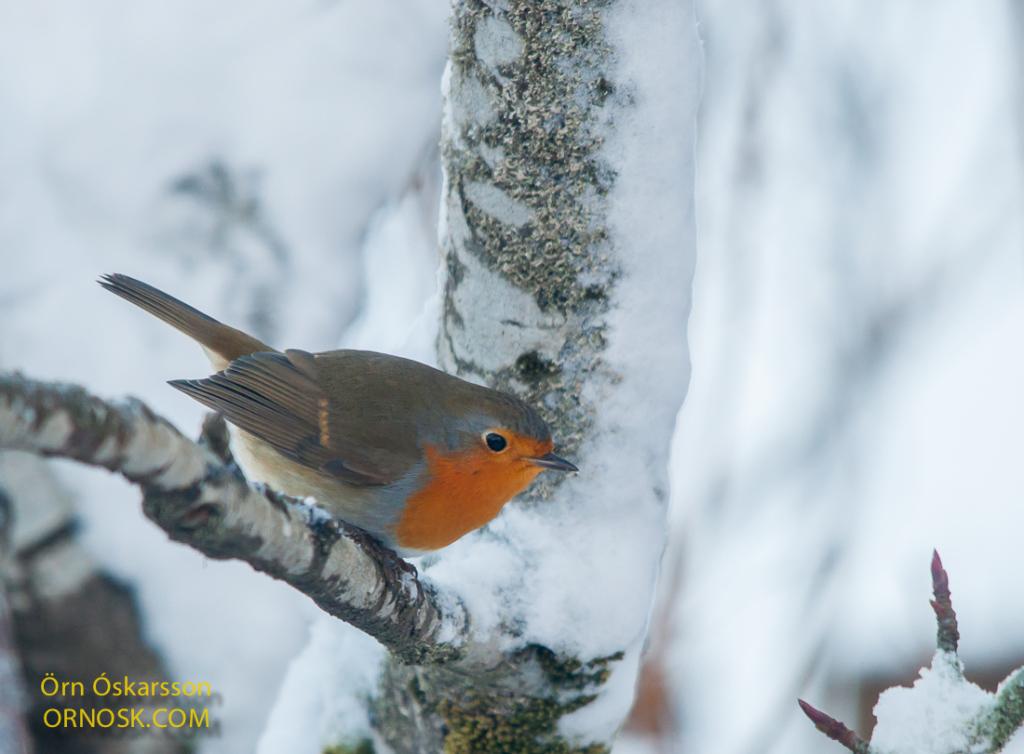 Glóbrystingur - Robin -