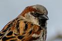 Hoouse Sparrow
