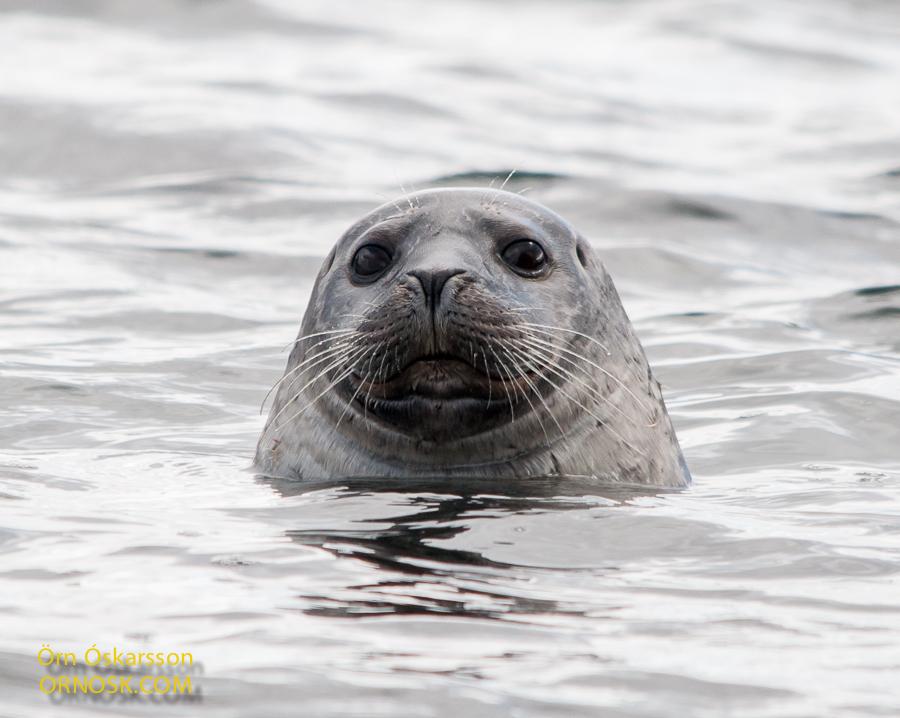 Landselur - Harbour Seal - Phoca vitulina
