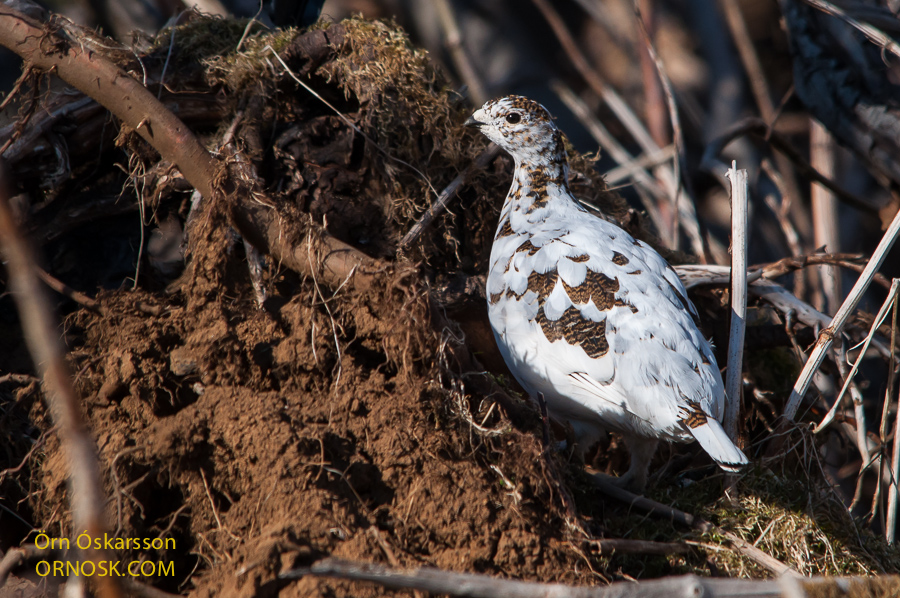 Ptarmigan - female