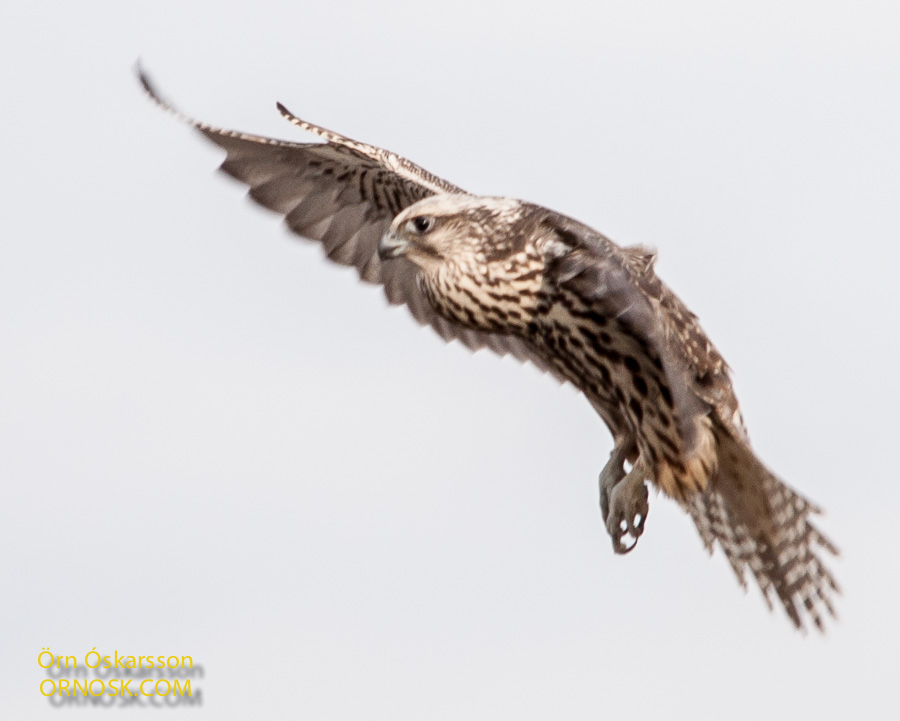 Gyrfalcon on flight