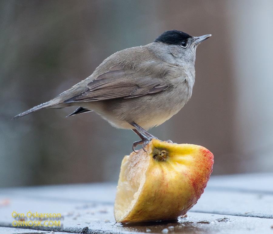 Hettusöngvari - Blackcap - Sylvia atricapilla