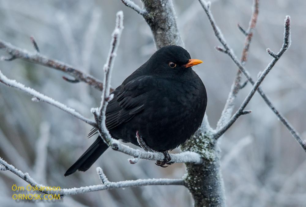 svarttrostur